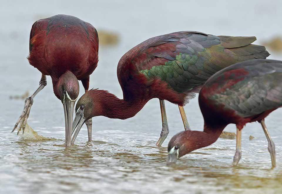 Glossy Ibis by Fabio Gnoni