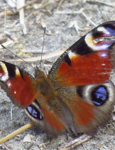 Peacock Butterfly - Aglais io - Po Delta
