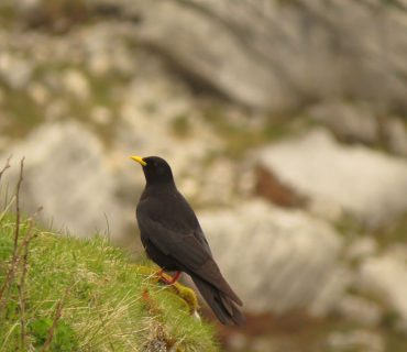 Alpine Chough