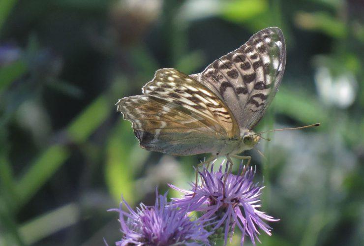 Silver-washd Fritillary f. valezina - Argynnis paphia f. valezina - Mount Baldo