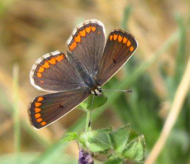 Brown Argus - Aricia agestis - Po Delta
