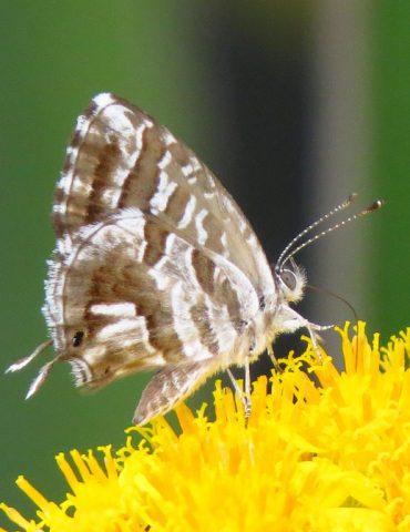 Geranium Bronze - Cacyreus marshalli - Po Delta