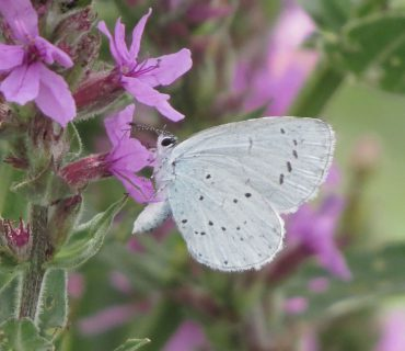 Holly Blue - Celastrina argiolus - Po Delta