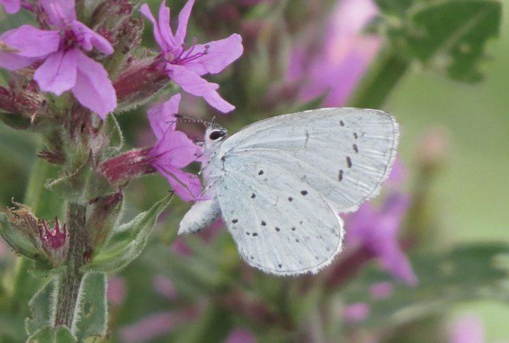 Holly Blue - Celastrina argiolus - Po Delta