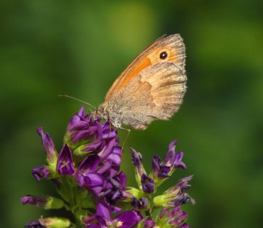 Small heath - Coenonympha pamphilus - Euganean Hills