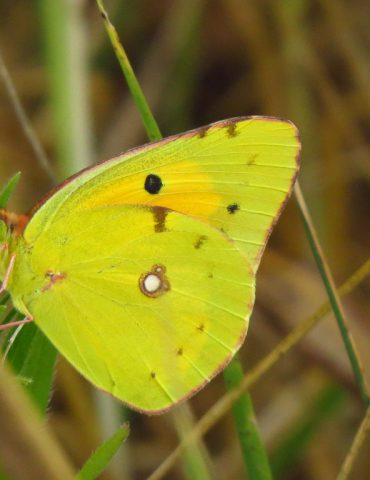 Clouded yellow - Colias crocea - Po Delta