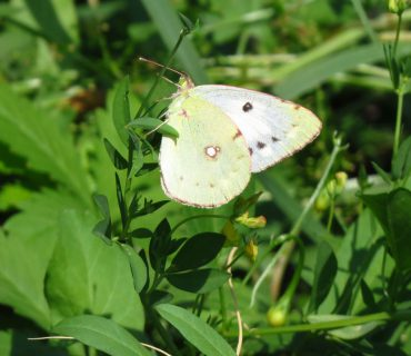Clouded Yellow f. helice - Colias crocea f. helice - Euganean Hills