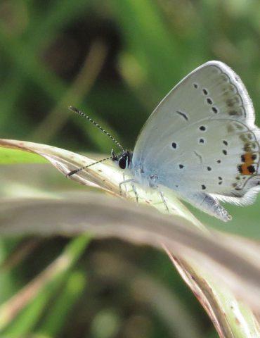 Short-tailed Blue - Cupido argiades - Po Delta