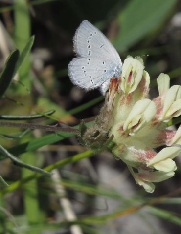 Little Blue - Cupido minimus - Mount Baldo