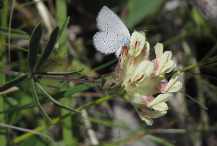 Little Blue - Cupido minimus - Mount Baldo