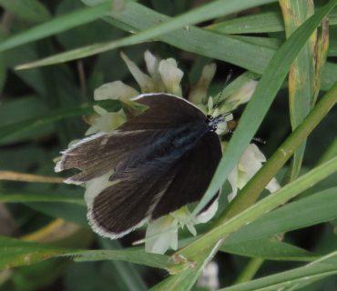 Mazarine Blue - Cyaniris semiargus - Mount Baldo