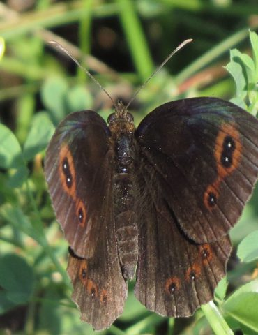 Scotch Argus - Erebia aethiops - Mount Baldo