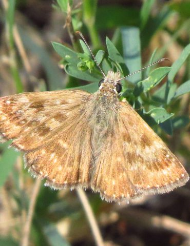 Dingy skipper - Erynnis tages - Po Delta