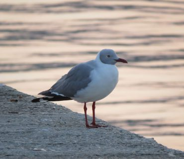 Gray-Headed Gull