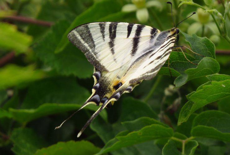 Scarce Swallowtail - Iphiclides podalirius - Euganean Hills