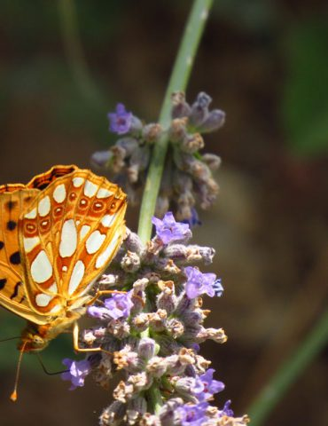 Queen of Spain Fritillary - Issoria lathonia - Euganean Hills