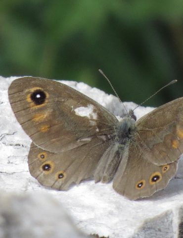 Large wall brown - Lasiommata maera - Mount Baldo