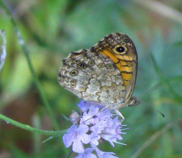 Wall brown - Lasiommata megera - Po Delta
