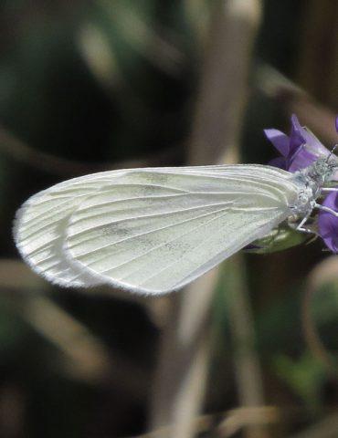 Wood white - Leptidea sinapis - Mount Baldo