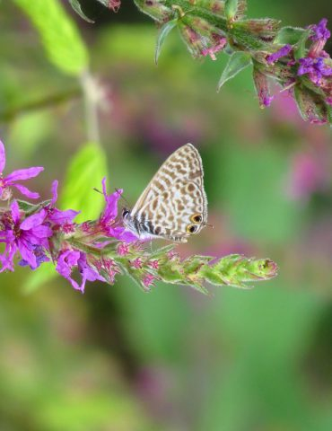 Lang's Short-tailed Blue - Leptotes piritous - Po Delta