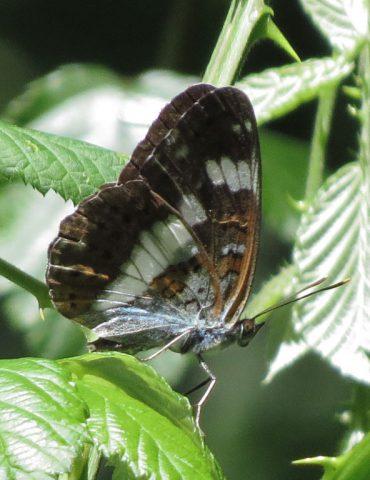 White Admiral - Limenitis camilla - Mount Baldo
