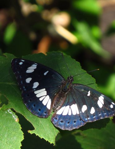 Southern White Admiral - Limenitis reducta - Po Delta