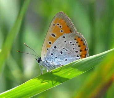 Large Copper - Lycaena dispar - Po Delta