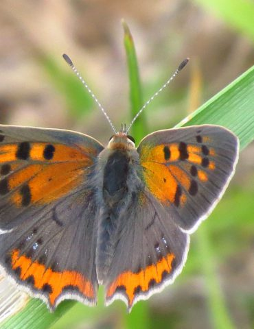 Small Copper - Lycaena phleas - Po Delta