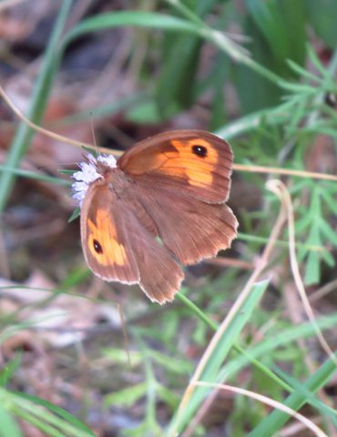 Meadow Brown - Maniola jurtina - Po Delta