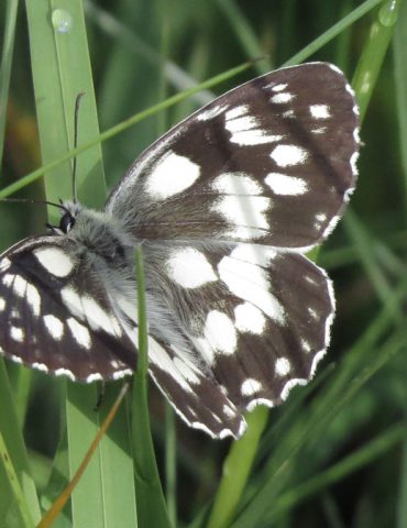 Marbled White - Melanargia galathea - Mount Baldo