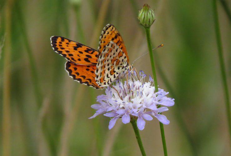 Spotted Fritillary - Melitaea didyma - Po Delta