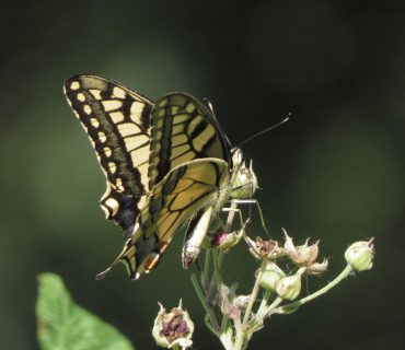 Swallowtail - Papilio machaon - Cavarzere wetland