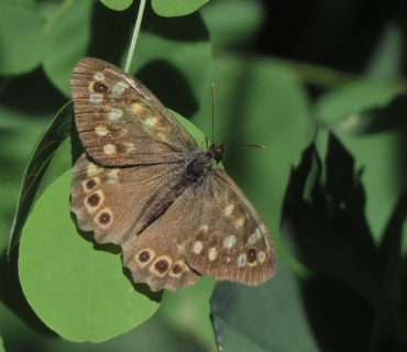 Speckled Wood - Pararge aegeria - Mount Baldo
