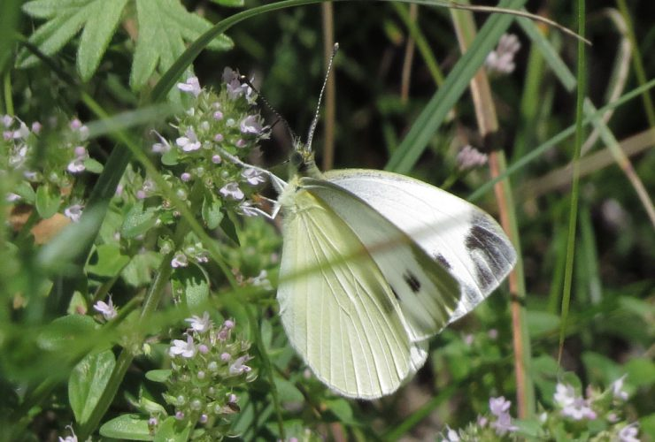 Southern Small White - Pieris mannii - Mount Baldo