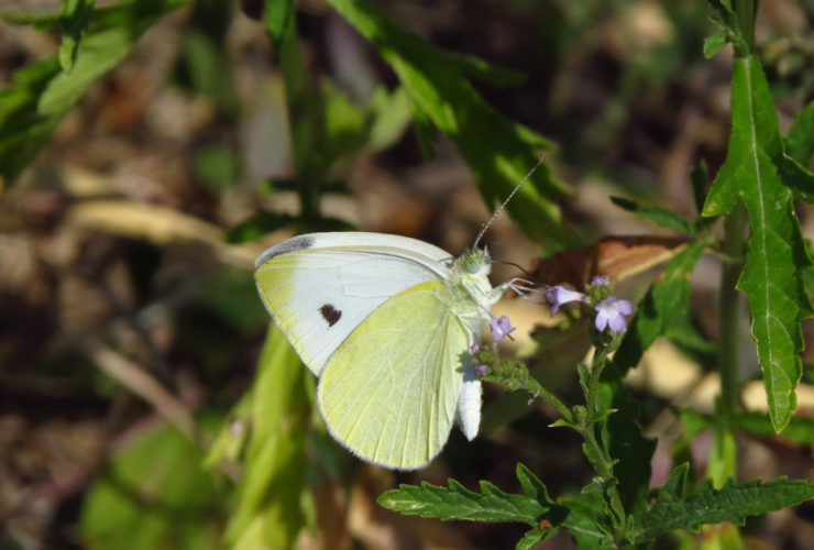 Small White - Pieris rapae - Euganean Hills