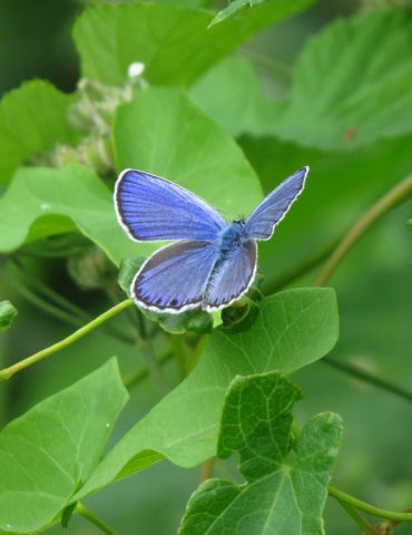 Reverdin's Blue - Plebejus argyrognomon - Euganean Hills