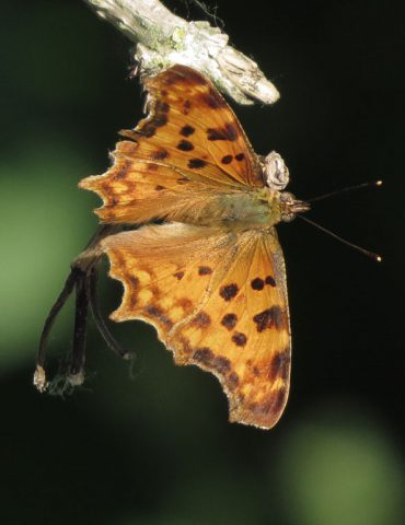 Comma Butterfly - Polygonia c-album - Cavarzere wetland