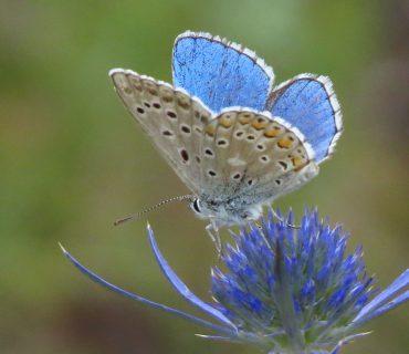 Adonis Blue - Polyommates bellargus - Euganean Hills