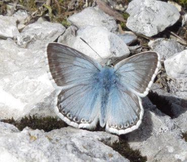 Chalk-hill Blue - Polyommatus coridon - Mount Baldo