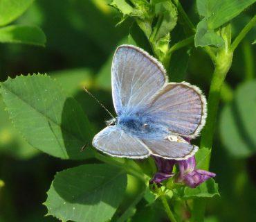 Common Blue - Polyommatus icarus - Po Delta