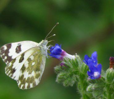 Eastern Bath White - Pontia edusa - Po Delta