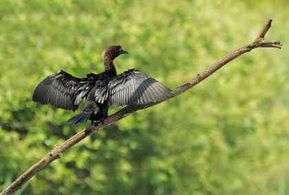 Pygmy Cormorant in the Po river Delta