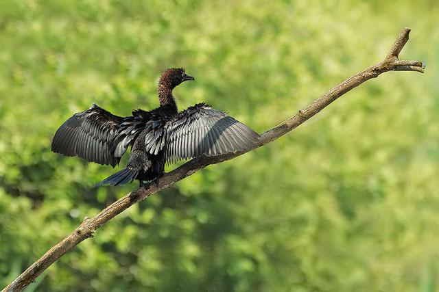 Pygmy Cormorant in the Po river Delta