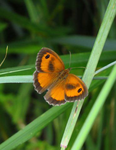 Gatekeeper - Pyronia tithonus - Po Delta