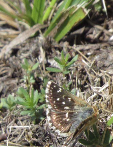 Red Underwing Skipper - Spialia sertorius - Mount Baldo