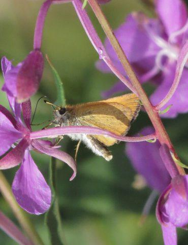 Essex skipper - Thymelicus lineola - Mount Baldo