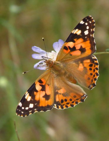 Painted Lady - Vanessa cardui - Po Delta